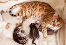 Kedilerde Doğum Sonrası Hastalıklar