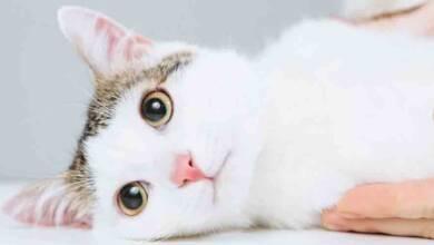 Kedilerde Deri Hastalıkları
