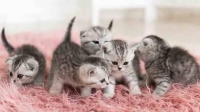Yavru Kedi Hastalıkları
